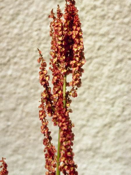 Rumex hastatulus fruits George Bruso, Johnson Wildflower Center Slide Library