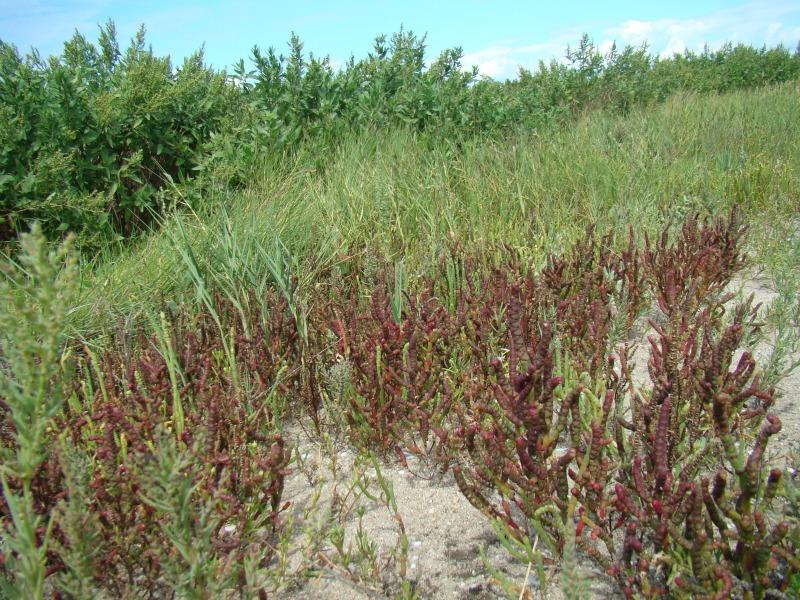 Salicornia bigelovii habitat. Kimberly J. Smith
