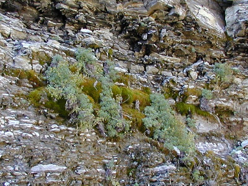 Saxifraga aizoides and its habitat Troy Weldy