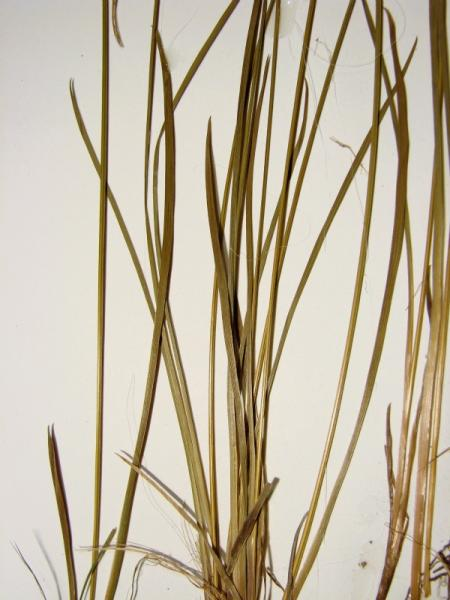 Sisyrinchium mucronatum stems Stephen M. Young