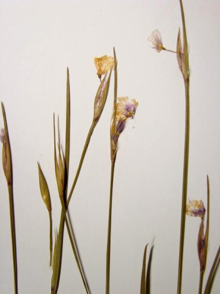 Sisyrinchium mucronatum flowers Stephen M. Young