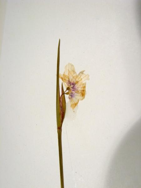 Sisyrinchium mucronatum flower Stephen M. Young