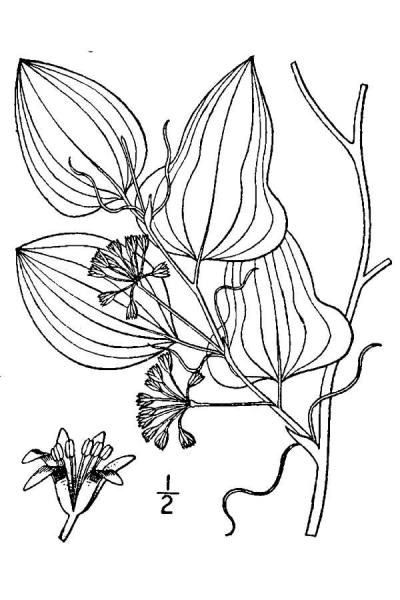 Smilax pseudochina drawing from USDA-NRCS PLANTS Britton and Brown 1913
