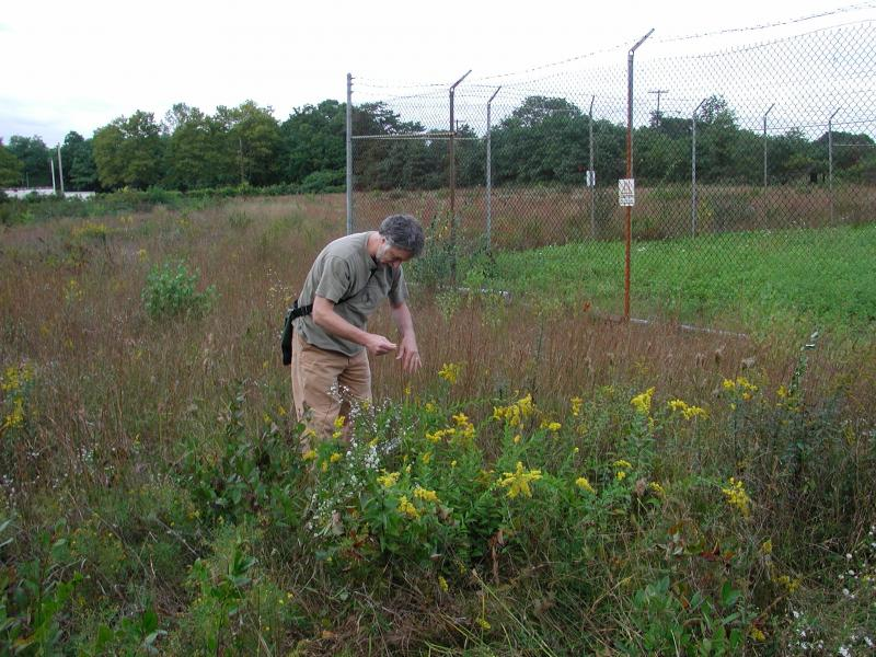 Solidago latissimifolia in grassland habitat with Eric Lamont Stephen M. Young