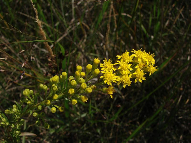 Solidago sempervirens var. mexicana flowers Stephen M. Young