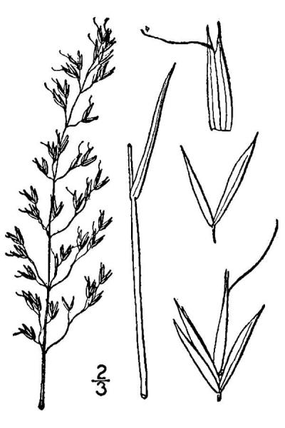 Sphenopholis pensylvanica drawing from USDA-NRCS PLANTS Britton and Brown 1913