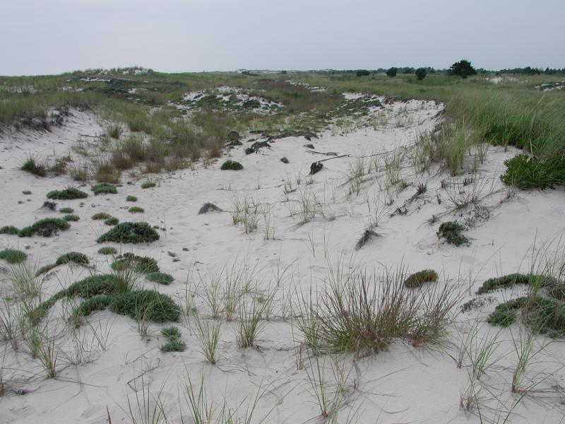 Spiranthes vernalis habitat in an interdunal swale. Stephen M. Young