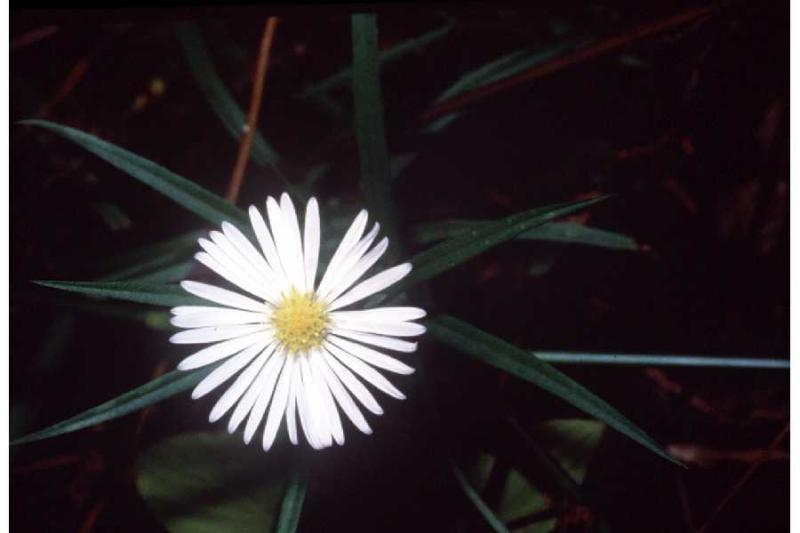 Symphyotrichum boreale Robert H. Mohlenbrock. USDA SCS. 1989; downloaded from the USDA Plants Database