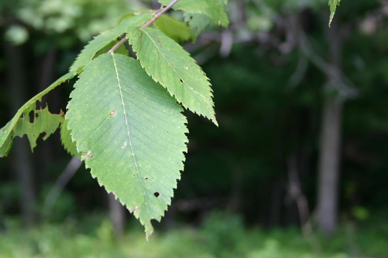 Ulmus thomasii leaf Troy Weldy