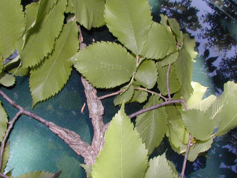 Ulmus thomasii twig (with corky ridges on twigs) Troy Weldy
