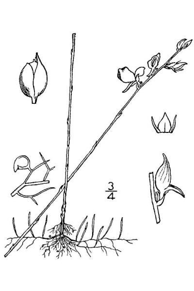 Utricularia juncea drawing from USDA-NRCS PLANTS Britton and Brown 1913