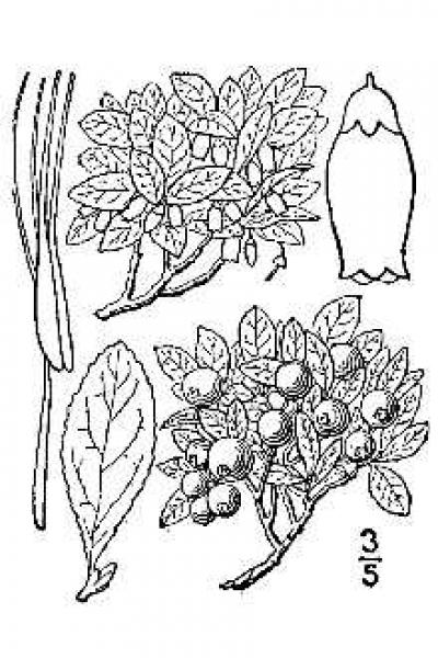 Line drawing  of Vaccinium cespitosum from Britton, N.L., and A. Brown. 1913. An illustrated flora of the northern United States, Canada and the British Possessions. Vol. 1: 640.