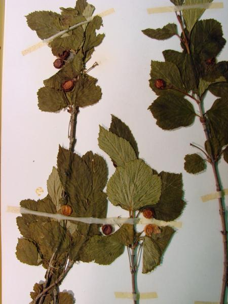Viburnum edule leaves and red fruits Stephen M. Young