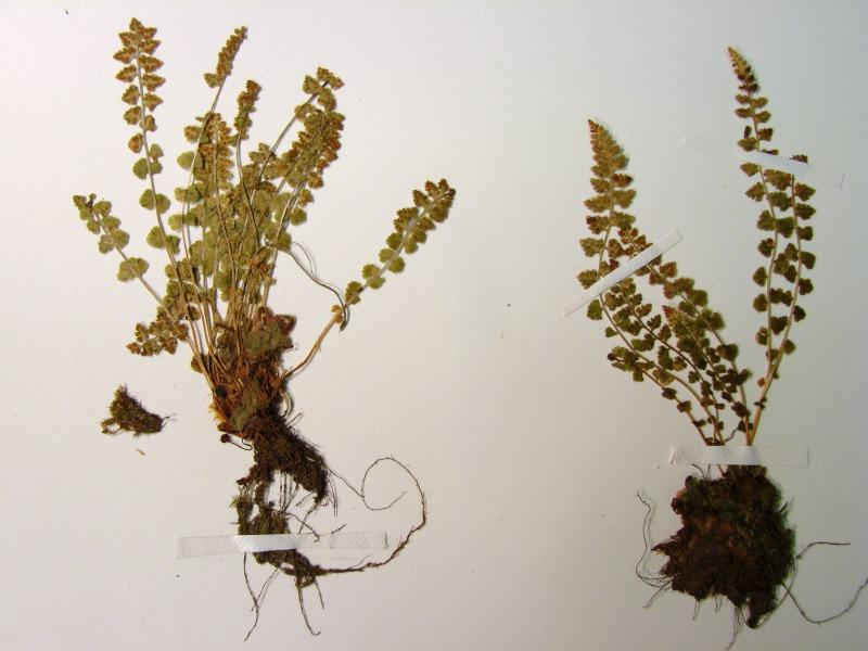 Woodsia glabella plants Stephen M. Young
