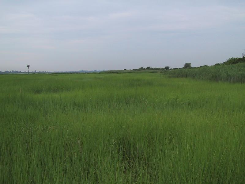 Low salt marsh, Jamaica Bay National Wildlife Refuge Aissa L. Feldmann