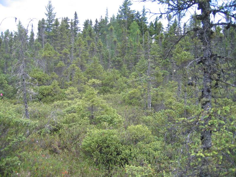 Black spruce-tamarack bog / dwarf shrub bog plot at Shingle Shanty Small Bog Gregory J. Edinger