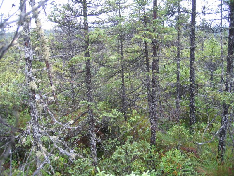 Dwarf shrub bog / black spruce-tamarack bog at Shingle Shanty Big Bog. Gregory J. Edinger