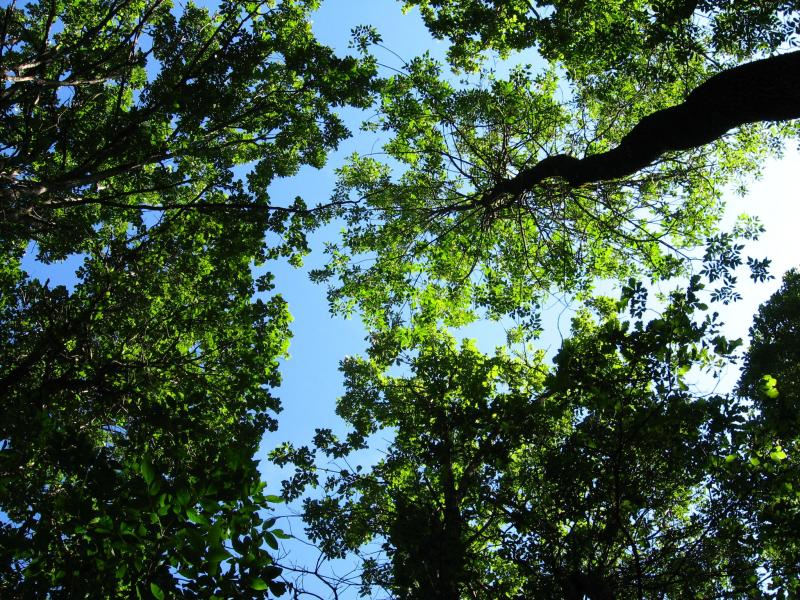 Ash and swamp white oak form the tree canopy at a swamp at Wellesley Island State Park. Julie A. Lundgren