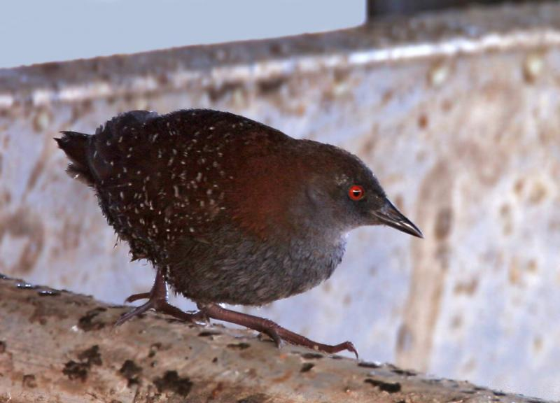 Black Rail (Laterallus jamaicensis) Ashok Kholsa