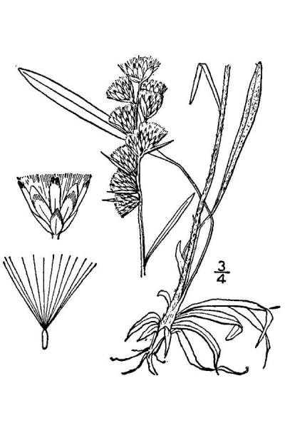 Illustration of Omalotheca sylvatica USDA Plants Database