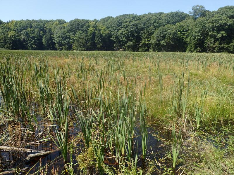 Broad-leaved cattail (Typha latifolia) dominated shallow emergent marsh at Daniels Road Forest. Gregory J. Edinger