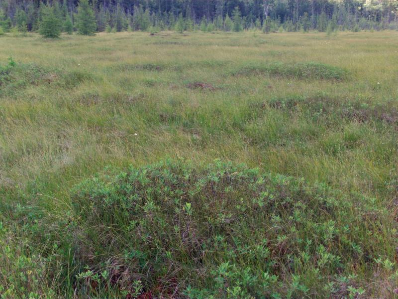 String and flarks of patterned peatland at Spring Pond Bog Elizabeth A. Spencer
