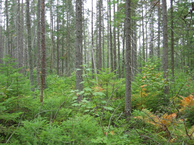 Spruce-fir swamp at Raquette Boreal Forest Shane Gebauer