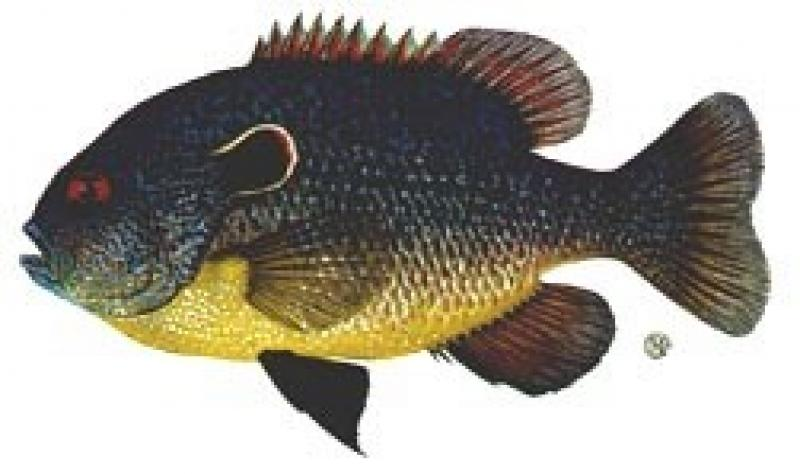 Northern Sunfish (Lepomis peltastes)