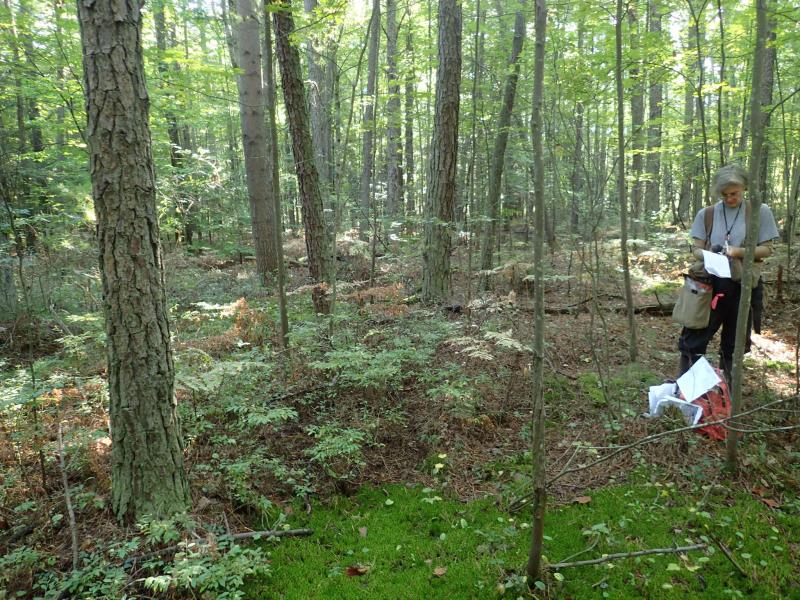 Elizabeth Spencer surveying pitch pine-blueberry peat swamp at Rome Sand Plains Huckleberry Swamp. Gregory J. Edinger