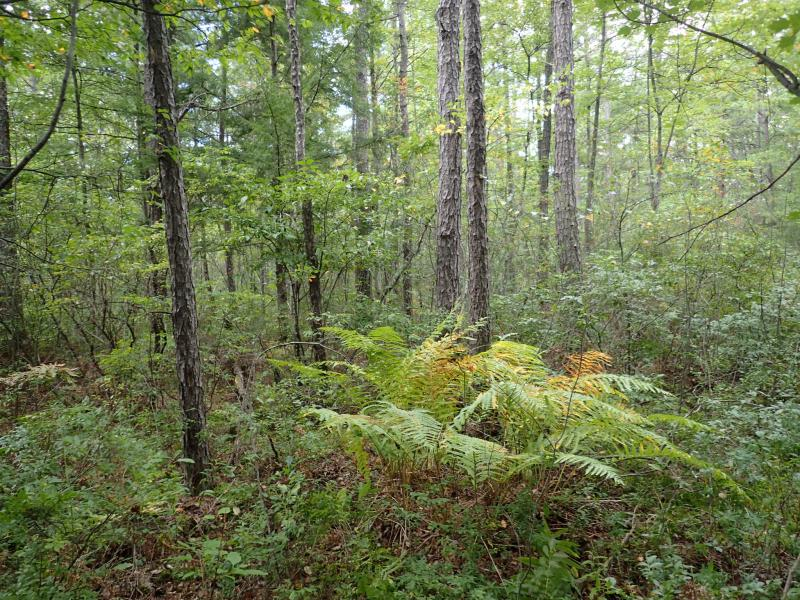 Pitch pine-blueberry peat swamp plot at Rome Sand Plains Huckleberry Swamp. Gregory J. Edinger