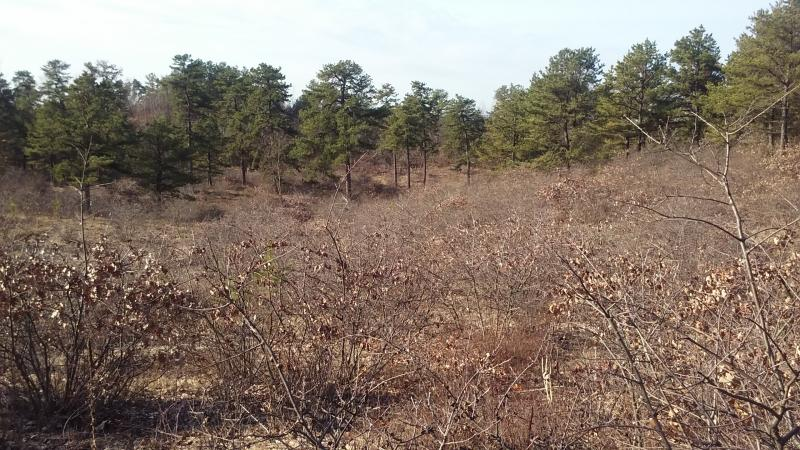 Pitch pine-scrub oak barrens at the Albany Pine Bush in winter. Gregory J. Edinger