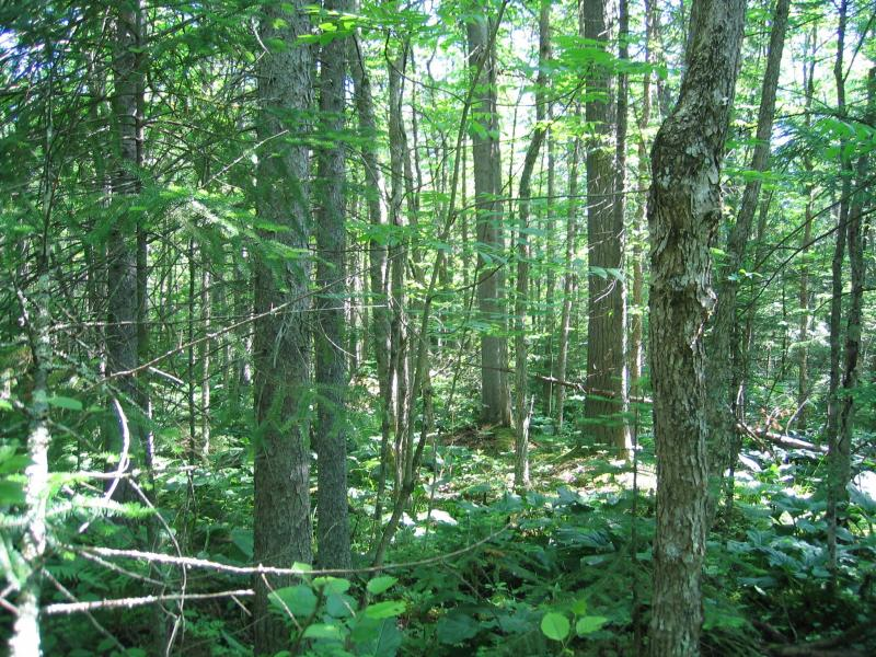 Black ash (Fraxinus nigra) dominated spruce-fir swamp at Eldridge Swamp. Gregory J. Edinger