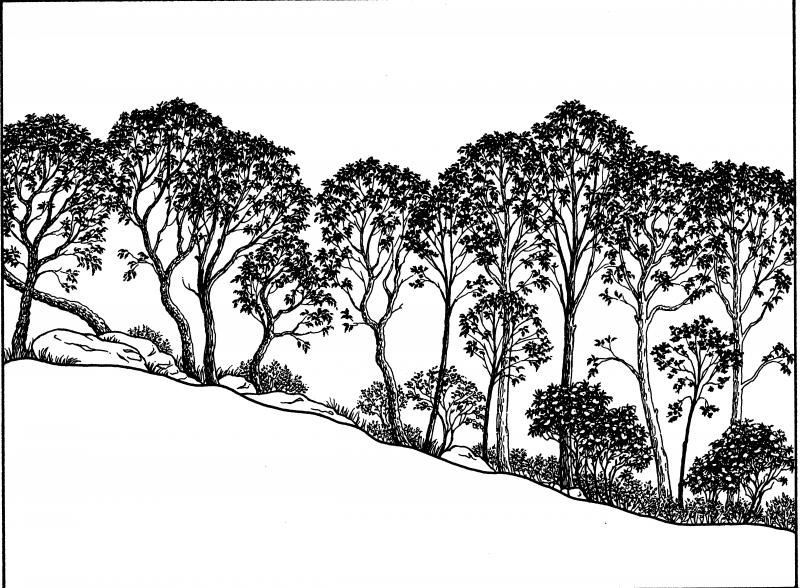Chestnut oak forest illustration. Darcy P. May