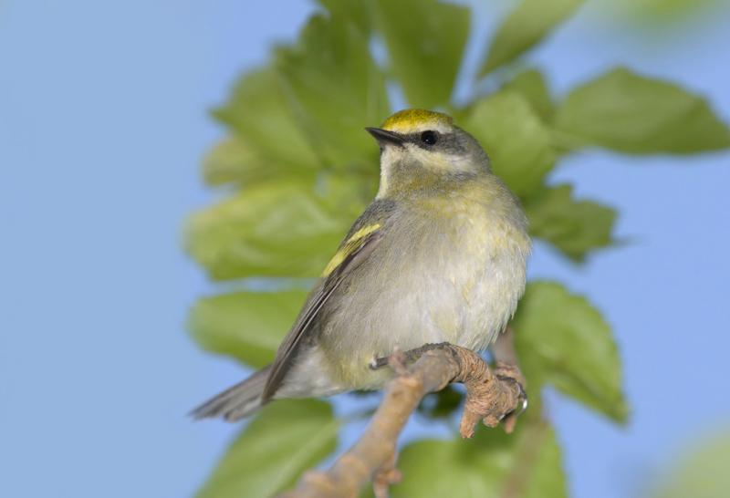 Golden-winged Warbler (Vermivora chrysoptera) female William H. Majoros