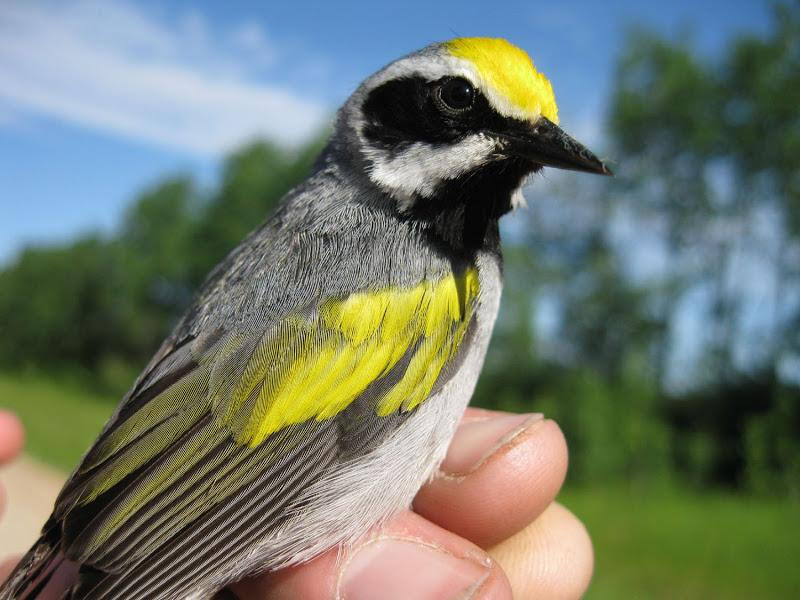 Golden-winged Warbler (Vermivora chrysoptera) male Rachel Vallender