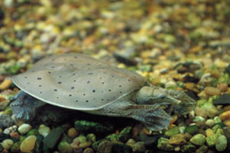Spiny softshell turtle Warner Nature Center, SMM