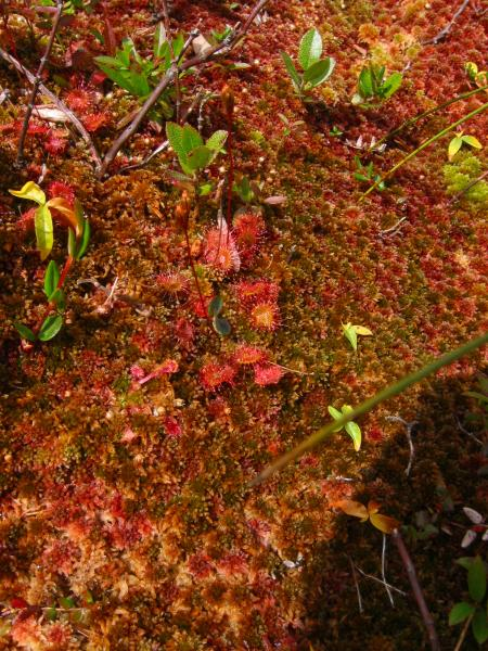 Drosera rotundifolia and Sphagnum on the summit of Mount Skylight in lower-sloped environment than that of a sliding fen. Tim Howard