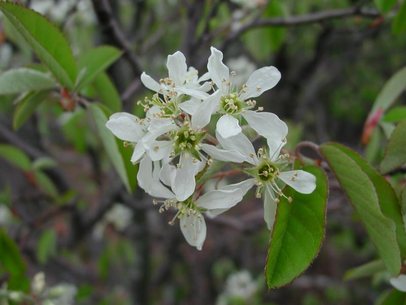 Amelanchier stolonifera flowers Stephen M. Young