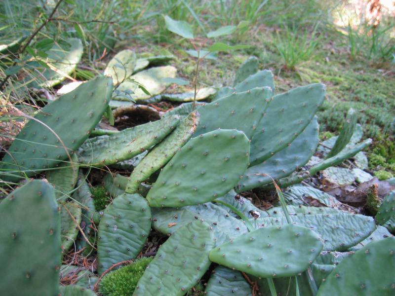Prickly pear cactus (Opuntia humifusa) in red cedar rocky summit at Roosevelt Home. Gregory J. Edinger