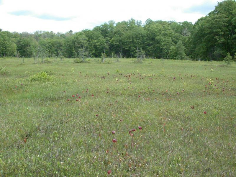 Pitcher plant (Sarracenia purpurea) in Inland poor fen at Sloperville Bog. Andrew Nelson, SUNY-Oswego