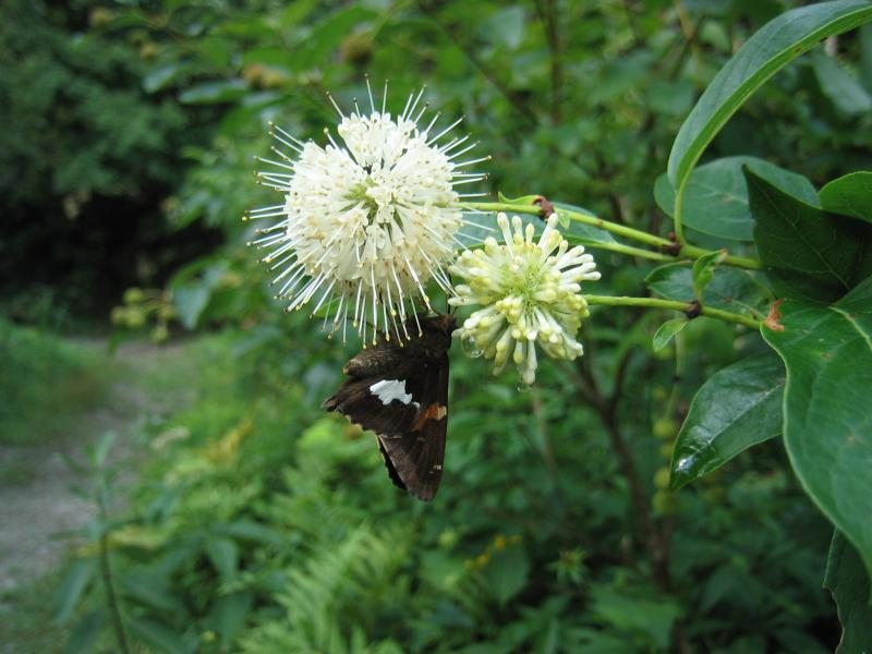 SIlver-spotted Skipper feeding on buttonbush flowers (plot RHA1). Gregory J. Edinger