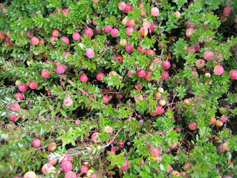 Large cranberry (Vaccinium macrocarpon) within perched bog at Sam's Point in the Shawangunk Mountains Gregory J. Edinger