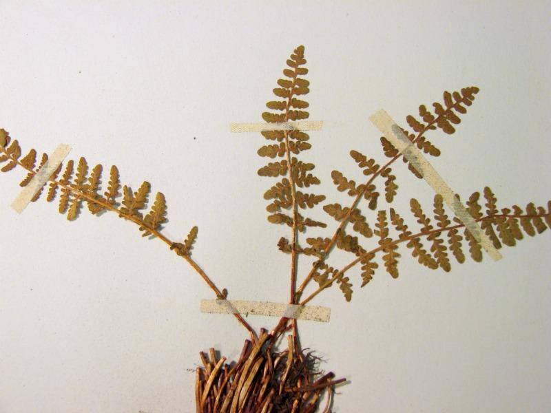 Woodsia ilvensis plant Stephen M. Young