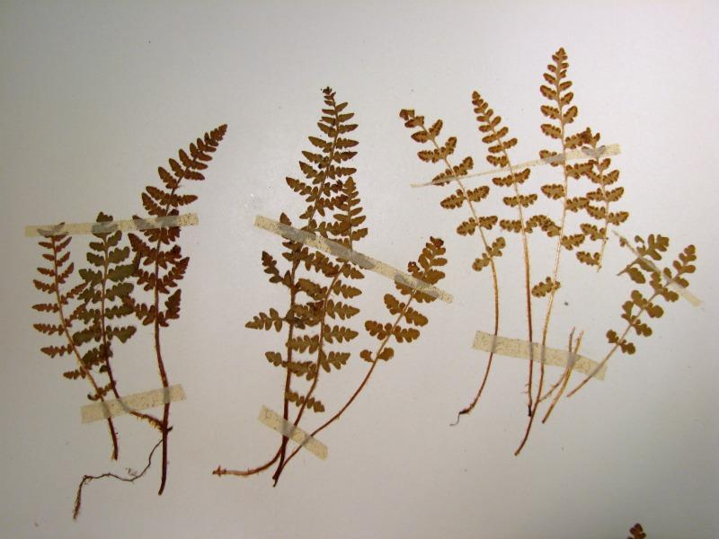 Woodsia ilvensis fronds Stephen M. Young