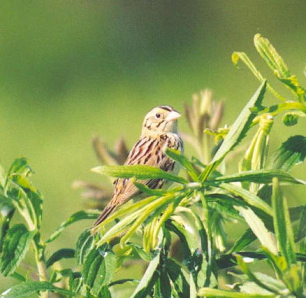 Henslow's Sparrow Patricia L. Nelson
