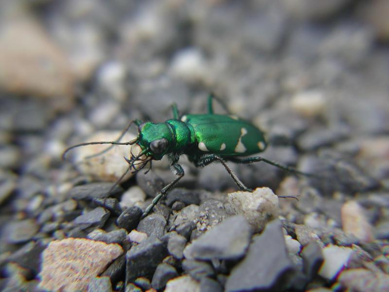 Northern Barrens Tiger Beetle Jesse W. Jaycox