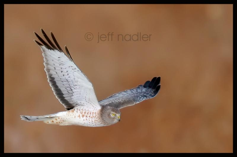 Northern Harrier (Circus cyaneus) Jeff Nadler