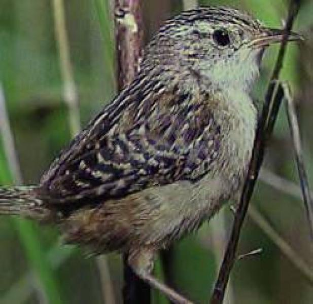 Sedge Wren           US NPS