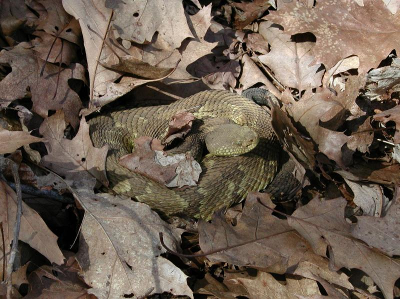 Timber Rattlesnake (Yellow Phase) Jesse W. Jaycox