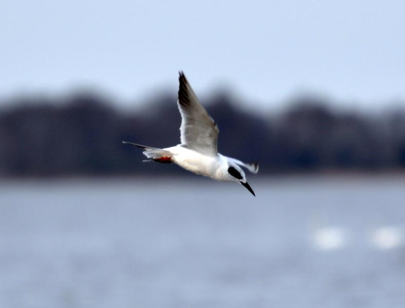 Forster's Tern (Sterna forsteri) winter plumage Kevin Bercaw